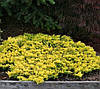 Можжевельник горизонтальный Голден Карпет (Golden Carpet), 2летки, 15-20см, контейнер 0,5 л