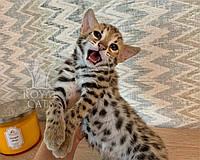Кошечка Бенгал Ф1 29/07/2019 питомника Royal Cats., фото 1