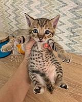 Кошечка Cаванна Ф5 из украинского питомника Royal Cats (Девочка, 21/07/19), фото 1