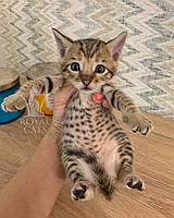 Кошечка Cаванна Ф5 из украинского питомника Royal Cats (Девочка, 21/07/19)