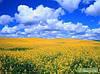 """Семена озимого рапса """"ДК ИМИДО КЛ"""" (Монсанто)"""
