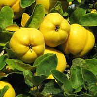 Айва яблочная