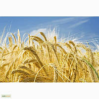 Насіння пшениці Омаха