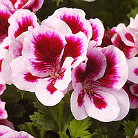 Пеларгония королевская, герань (regale Candy flowers Вicolor)