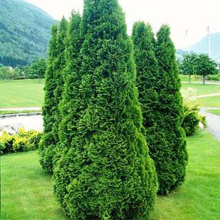 Саженцы Туи западной Колумна (Thuja occidentalis Columna)