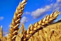 Насіння пшениці НС Футура