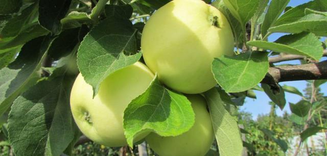 Плодоношение сорта яблони белый налив