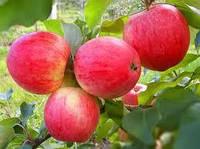 Тонкости выбора и посадки саженцев яблони