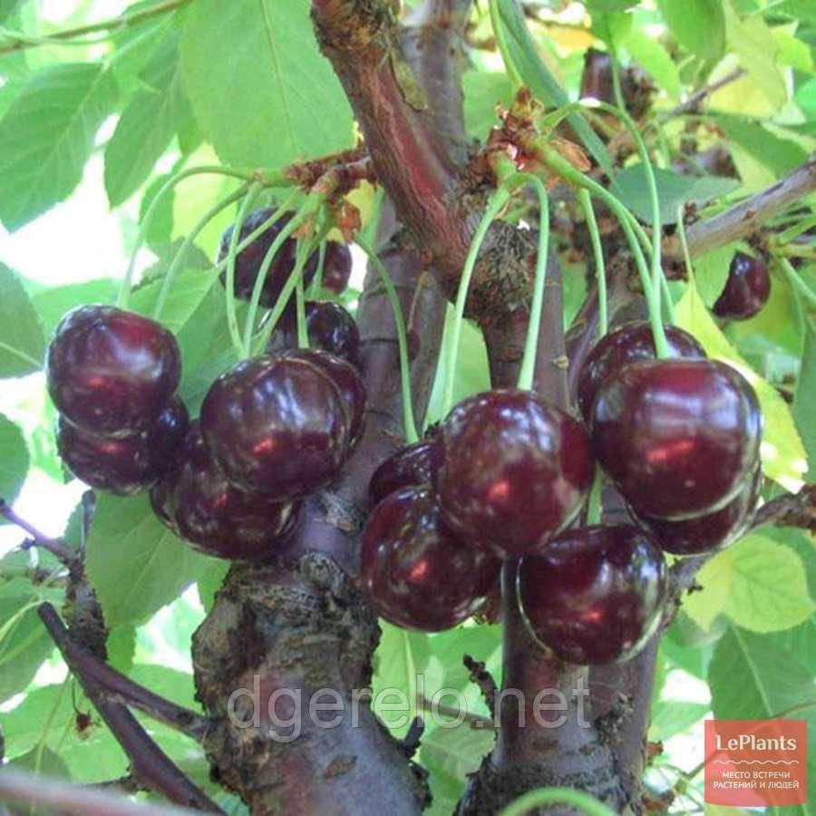 Саджанці вишні Супутниця - середньо-рання
