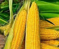 Купить Семена кукурузы Mas 32. CR ФАО 290