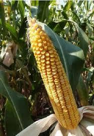 Купить Семена кукурузы Mas 33.А ФАО 320