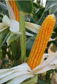 Купить Семена кукурузы Mas 37. V ФАО 340
