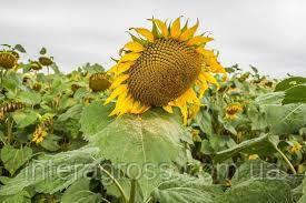 Купить Семена подсолнечника Mas 87. IR