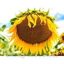 Купить Семена подсолнечника Mas 95. IR