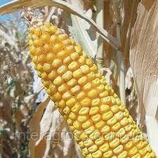 Купить Семена кукурузы Джоди ФАО 380