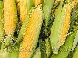 Купить Семена кукурузы ЛГ 3350 ФАО 350