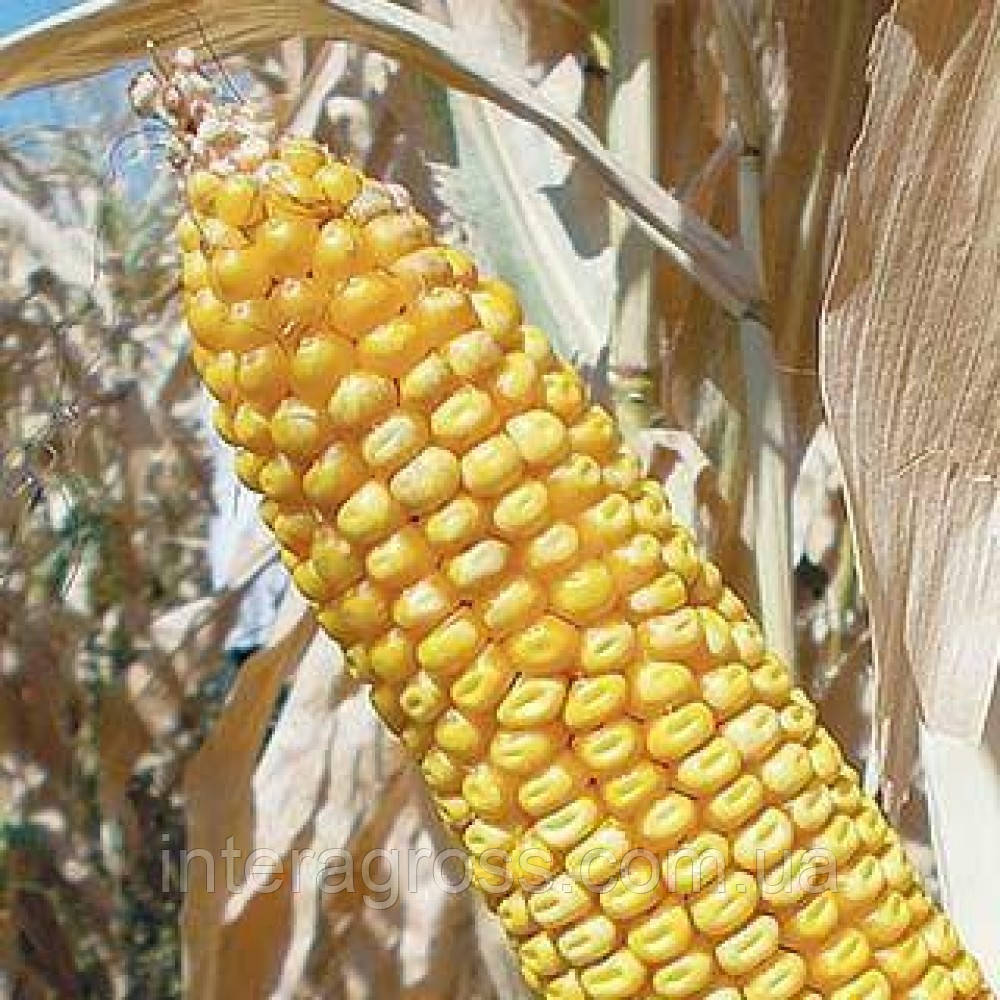 Купить Семена кукурузы ЛГ 3395 ФАО 390