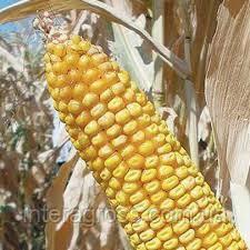 Купить Семена подсолнечника ЛГ 5412