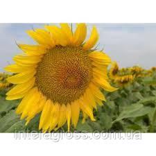 Купить Семена подсолнечника ЛГ 5663 КЛ