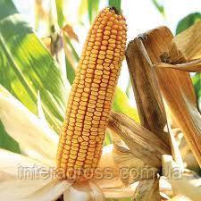 Купить Семена кукурузы Лубази