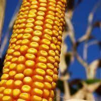 Купить Семена кукурузы Гарни