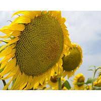 Купить насіння соняшника ЕС Креатив