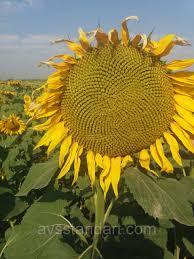 Купить насіння соняшника ЕС Ніагара
