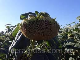 Купити насіння соняшнику ЕС Вероніка