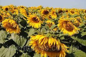 Купить Гібрид соняшника Імпакт