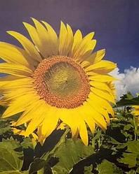 Купить Гібрид соняшника Камаро 2
