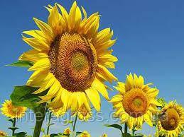Купить Соняшник Карлос 115