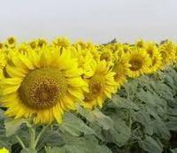 Купити насіння соняшника МГ 305 Кл
