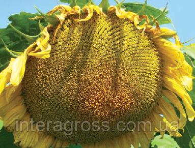 Купить Насіння соняшника 8Х288КЛДМ