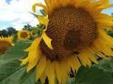 Купити насіння соняшника 8Х463КЛ