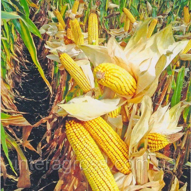 Купити насіння кукурудзи ДА Сонка