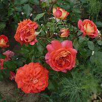 Роза флорибунда Братья Гримм, фото 1