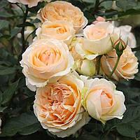 Роза флорибунда Женевьев Орси, фото 1