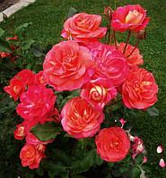 Роза флорибунда Мидсаммер, фото 1