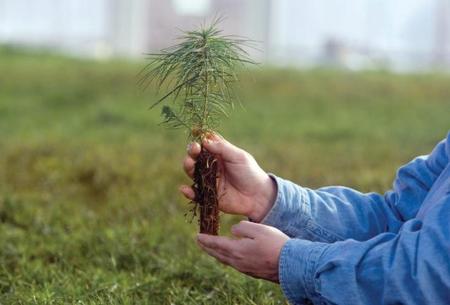 Как пересадить сосну из леса на участок осенью