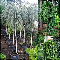 """Ель обыкновенная (Picea abies) """"Inversa"""" /Stam 170-180 см/ контейнер С30 L"""