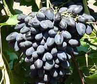 Саженцы винограда Атос
