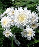 Пиретрум белый махровый, фото 1