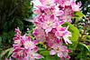 Дейция Кальмифлора (Kalmiflora), 20-25см, р9