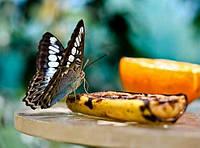 Кормление живых тропических бабочек и уход за ними