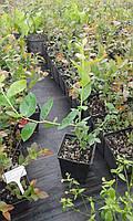 Саджанці лохини 1.5 річні в контейнерах 0.5 л.