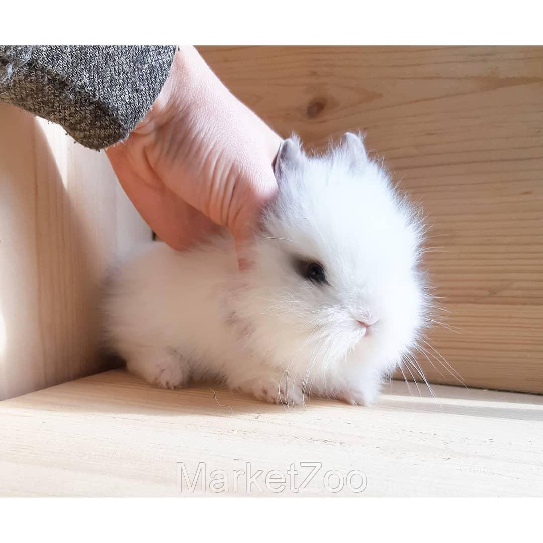 """Карликовый миниатюрныйидекоративный торчеухий кролик порода-""""Львиноголовый"""""""