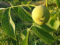 Как правильно посадить грецкий орех в открытый грунт