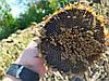 Семена подсолнечника Лейла Лейила Евралис, Высокоурожайный гибрид 38 ц/га, Устойчив к заразихе А-F. Экстра фракции.