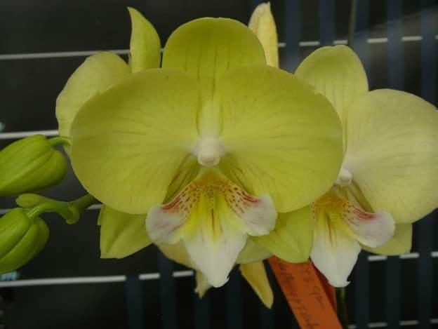 """Орхидеи Pha Green dance, размер 2.5"""" без цветов."""