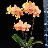 "Орхидеи сорт P. Lucky cat, размер 2.5"" без цветов., фото 1"
